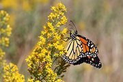 Monarch Butterfly - photo by Don Dinndorf